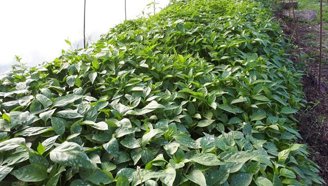 Planta-pemento-Ponteareas-