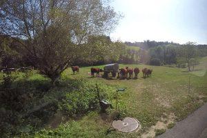 Os becerros que ceban están en fincas alonxadas das vacas de produción de leite