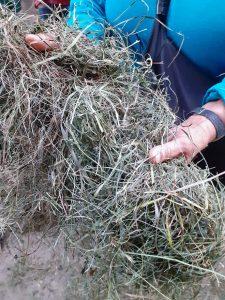 Herba seca que almacenan para alimentar o gando no inverno