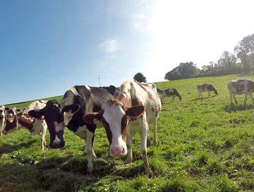Pacer día e noite, cabana variada e partos agrupados: a estratexia dos gandeiros suízos en ecolóxico