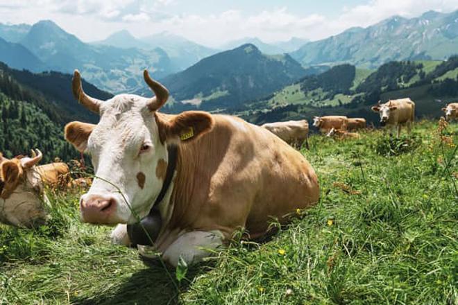Suiza vaca montaña2