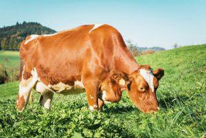 A maioría das gandarías empregan o pastoreo como sistema principal de alimentación do gando