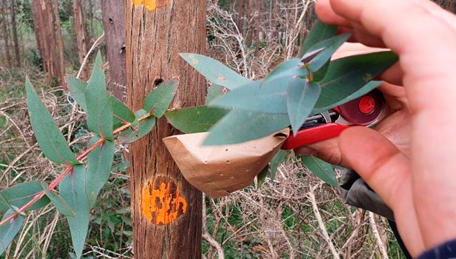 colocacion-bolsas-anaphes-contra-gurgullo-eucalipto-