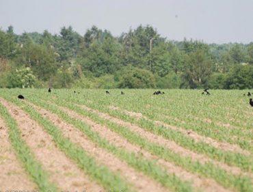 ¿Como protexer as sementes de millo fronte aos corvos e xabaríns?