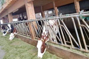 De novembro a marzo as vacas están estabuladas