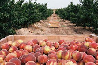 Como traballar nas campañas de recolección agrícola?