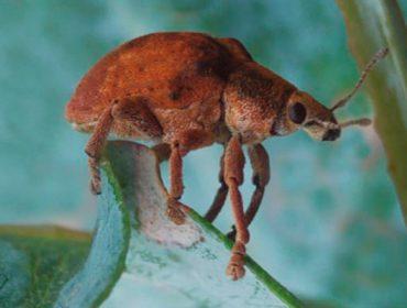 Curso sobre prospección e control da praga do goníptero en eucalipto