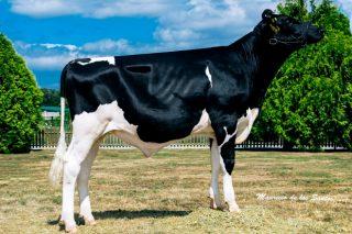 Mejores toros de raza Holstein en España: resultados de las últimas pruebas