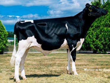 Mellores touros de raza Holstein en España: resultados das últimas probas