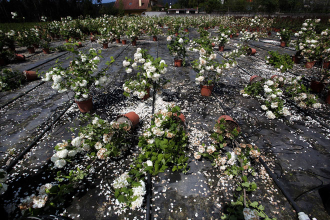 Concrétanse as axudas aos produtores de flor cortada e planta ornamental