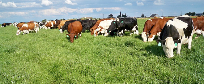 Rabaño de vacas Procross
