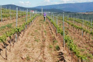 A Xunta triplica a partida de axudas á reconversión de viñedos para atender as solicitudes