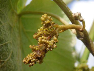Condicións moi favorables para a propagación do mildeu no viñedo