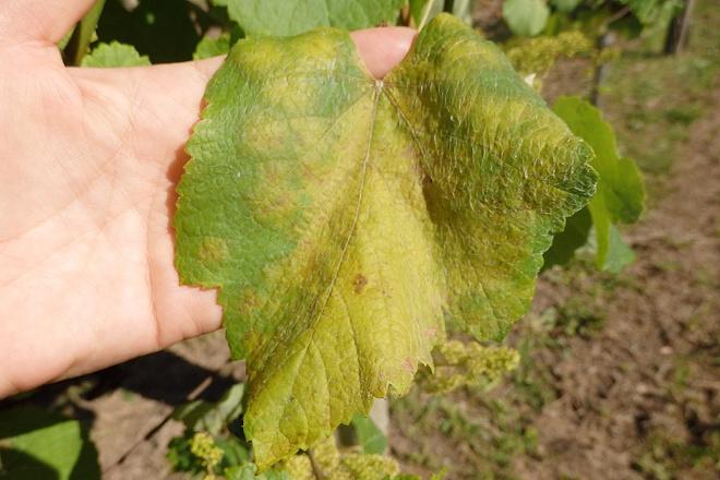 Preocupación pola forte incidencia do mildiu no viñedo