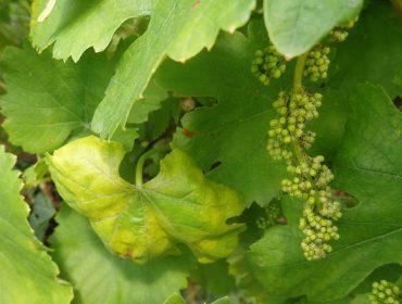 Ampexio®: A peza clave para controlar o mildiu no seu viñedo