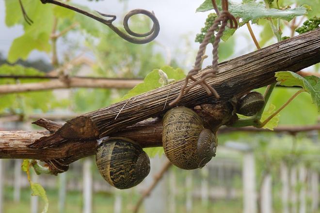 AREEIRO_Os caracois esta primavera seguen sendo constantes