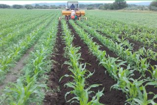 Xestión integrada de pragas no millo