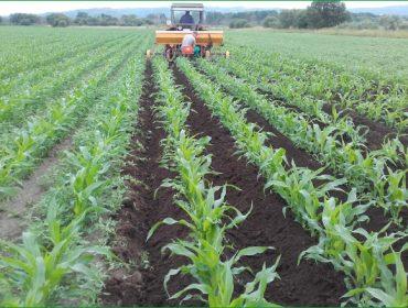 Recomendaciones para cultivar maíz en ecológico