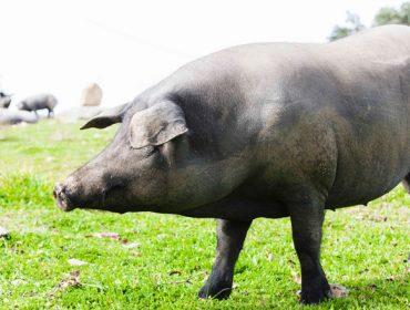 De Heus lanza su nuevo plan nutricional para porcino ibérico