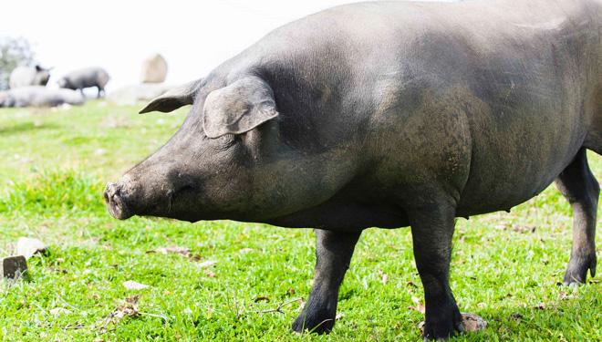 De Heus lanza o seu novo plan nutricional para porcino ibérico