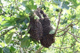 Poden evitarse os enxames no apiario?