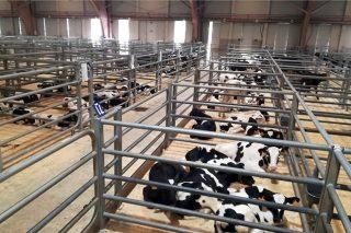 Subas en vacún maior e altibaixos no gando de recría en Silleda
