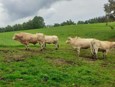 As ganderías de vacún de carne cobrarán entre 900 e 7.000 euros de axudas directas polo coronavirus