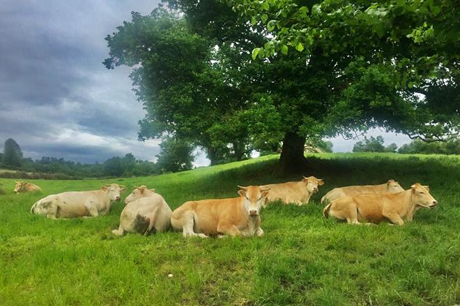 As vacas que Francisco coida no concello de Láncara