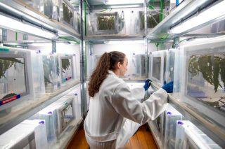 Toxo, unha nova biofábrica galega que combate o gurgullo do eucalipto