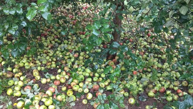Las lluvias del otoño pasado dificultaron la recogida de la gran cantidad de manzana que tuvieron.