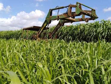 Recomendacións para o cultivo do pasto siambasa, unha alternativa forraxeira