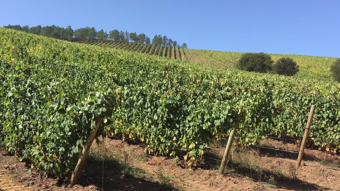 La salud y la producción del viñedo se incrementan con el abono de bagazo