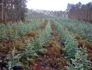 Moratoria a novas plantacións de eucalipto en Galicia