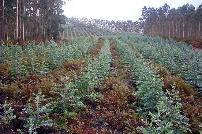 Cinco interrogantes que abre a suspensión de novas plantacións de eucalipto