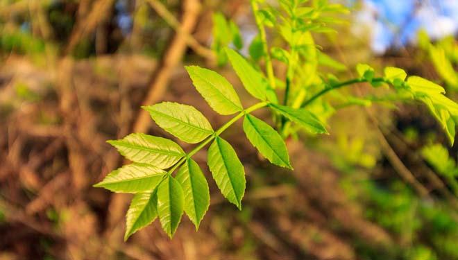 El fresno, tratamientos silvícolas para la producción de madera