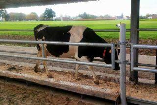 Tendencias de sensores en granxas de vacún de leite