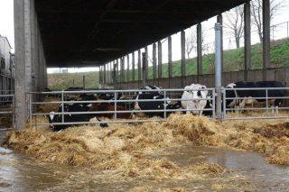 Cuberto exterior ao que poden acceder as vacas en produción.