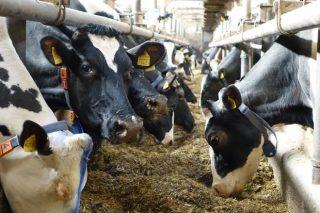 ¿Por qué é tan importante a consistencia na alimentación das vacas para a produción de leite?