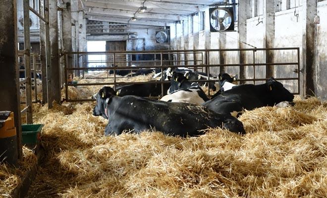 Vacas de preparto.