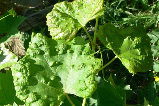 Síntomas de erinosis de verano en variedad tinta. Foto: Estación Fitopatolóxica de Areeiro
