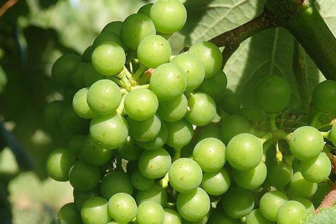 Recomendaciones para el cuidado del viñedo durante los próximos días