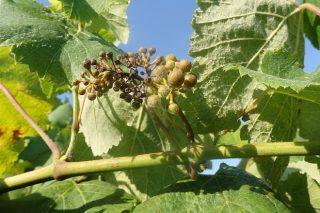 En que momento é máis susceptible o viñedo ao mildio?