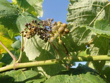 Aconsellan extremar a vixilancia do viñedo fronte á propagación do mildio
