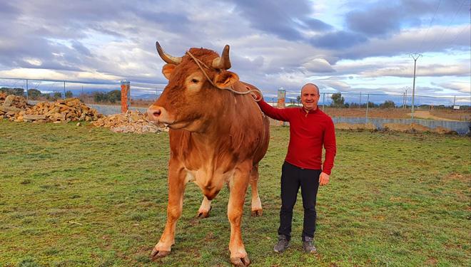 Buey-mas-grande-de-Galicia-y-Portugal-raza-minhota--Mario-Nogueira-