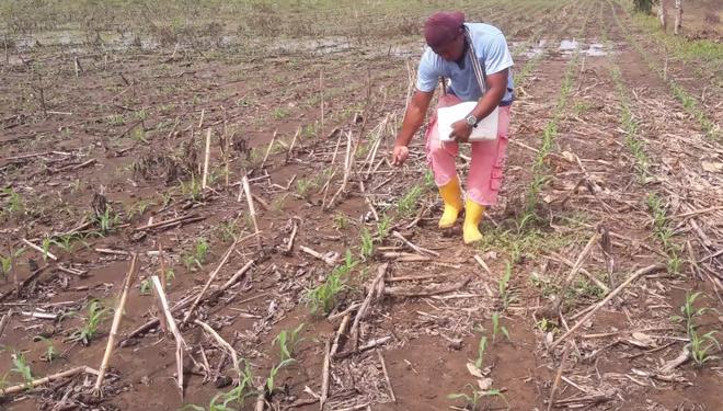 Cultivo-do-millo-en-Colombia-