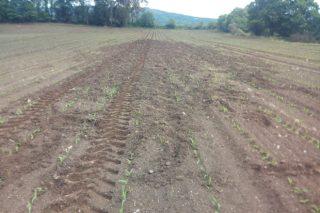 Resementan por terceira vez parcelas de millo de Boimorto polos danos do xabarín
