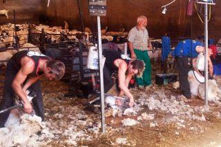 Rapadores da montaña, o tosquiado das ovellas con selo galego
