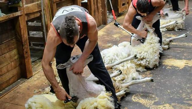 Esquiladores-ovejas-Galicia-