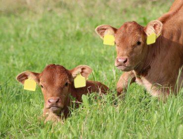 Kovital: O novo plan nutricional de Heus para cebo de becerros con maior eficiencia e benestar animal