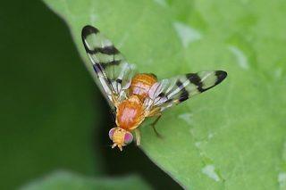 Confirman a presenza e a expanxión en Galicia da nova praga da mosca da nogueira
